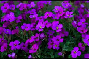 Field of Magic Flowers... by FeliFee