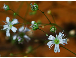 Delicate White... by FeliFee