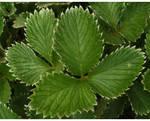 Fractal Leaves... by FeliFee