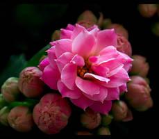 Sweet in Pink... by FeliFee