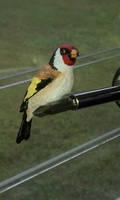 European Finch - Front View by Batalha-Enterprises
