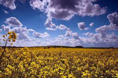 Fields of Gold by taffmeister