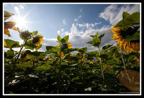 Tournesol by snapboy