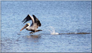 Pelican Landing on Water by SalemCat
