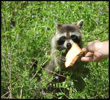 Feeding the Raccoon by SalemCat