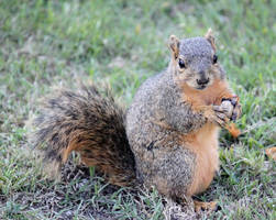 A Squirrel and His Peanut by SalemCat