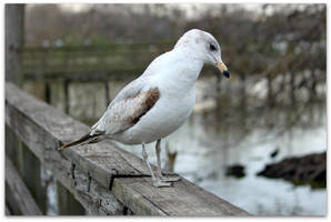 The Lonely Gull by SalemCat