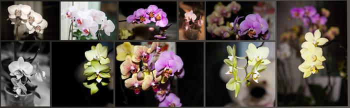 halaenopsis blossom by Tiorion-ua