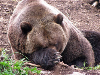 curled up grizzly by shannonkringen