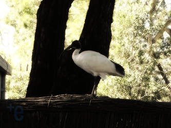 Ibis On A Wooden Fence by extramaster