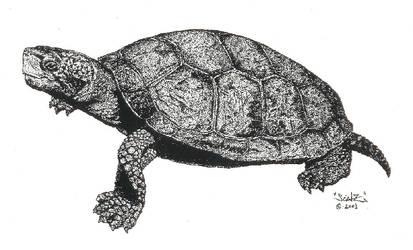 Western Pond Turtle by creativenature