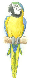 Blue and Gold Macaw by maggock