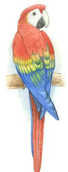 Scarlet Macaw by maggock