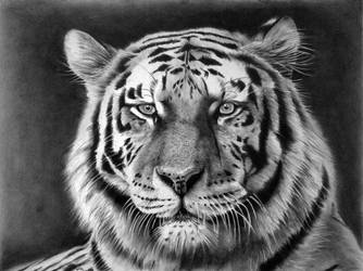 Tiger by donchild