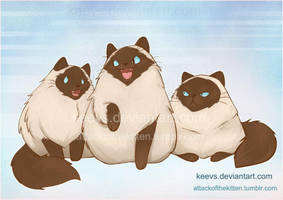 himalayan cats by keevs