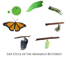 Life of a Monarch Butterfly by Strayfish