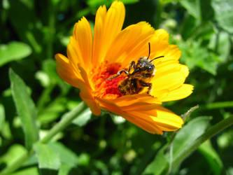 Bee on Flower by KaraCrane