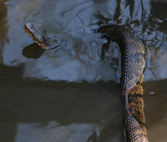 Cottonmouth by LGramlich