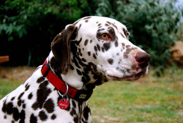 Dalmatian Concentration by PennyIP