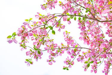 Magnolia by MarvinDiehl