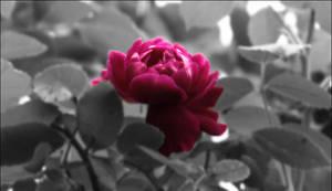 Broken Rose by babygurl83
