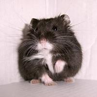 Hamster II by KW-stock