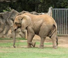 Elephant XII by KW-stock