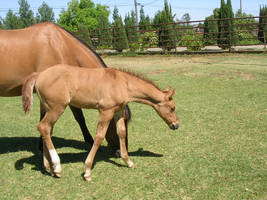 Grazing Mare and Foal by rachellafranchistock