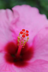 Pink Hibiscus by camnhungth