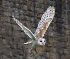 Barn Owl in Flight by GailJohnson