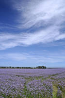 Linseed Field 2 by GailJohnson