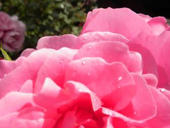 Rose by Tarukryl