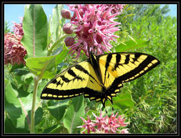Western Tiger Swallowtail Butterfly 2 by LifeIsToBeHappy