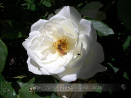 White Rose I by P-u-D