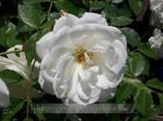 White Rose II by P-u-D