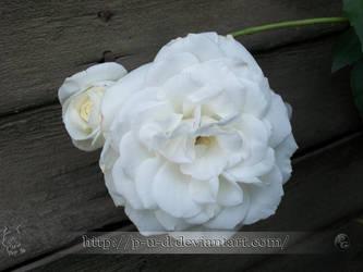White Rose III by P-u-D