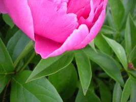 Pink Rose by IWishIHadWingZ