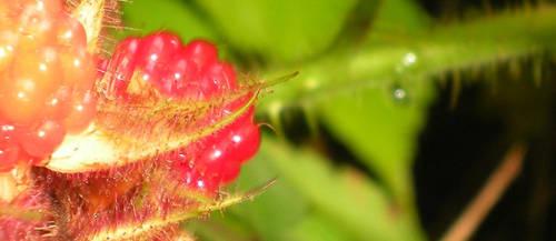 Red Raspberry by IWishIHadWingZ