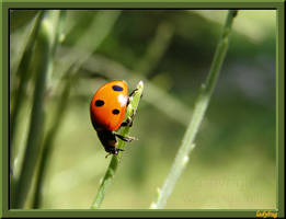 just a ladybug... by wholba