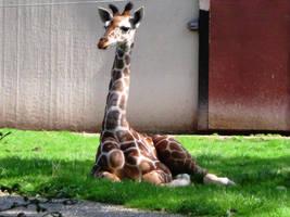 Somali Giraffe by JollyStock