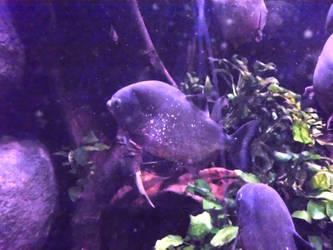 Red-bellied Piranhas by JollyStock