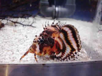 Red Lionfish by JollyStock