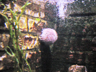 Sea Urchin by JollyStock