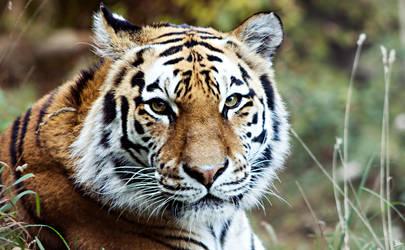 Tiger 01 by marichris