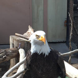 Bald Eagle Stock [1] by ThePix