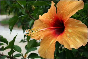 Yellow Hibiscus by PLazarou