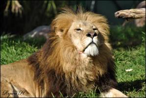 Lion 6 by Mkatpro11