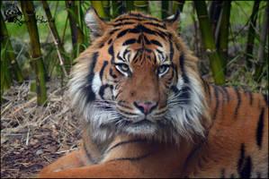 Sumatran Tiger 11 by Mkatpro11