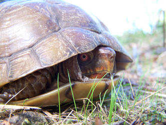 Turtle by KyleBoswell