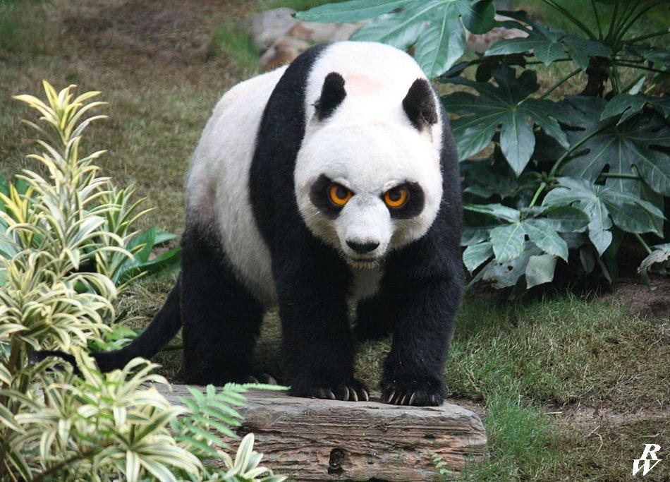 Angry Panda by Dwarf4r